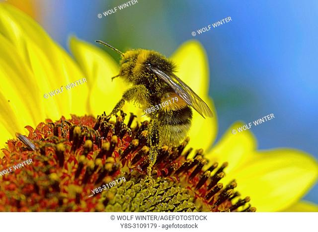 Bumblebee collecting Nectar at a Sunflower Blossom in a Garden in Germany