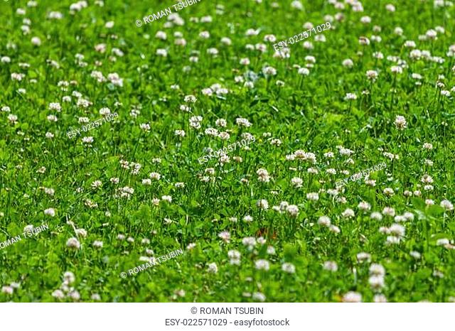 clover flower field