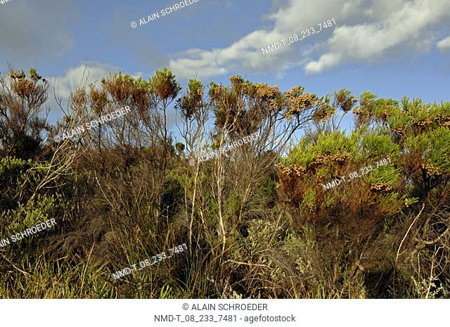 Low angle view of trees, Cape Peninsula National Park, Cape Town, Western Cape Province, South Africa