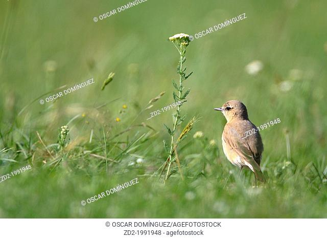 Isabelline Wheatear (Oenanthe isabellina) standing on grassy ground. Central Balkan National Park. Bulgaria