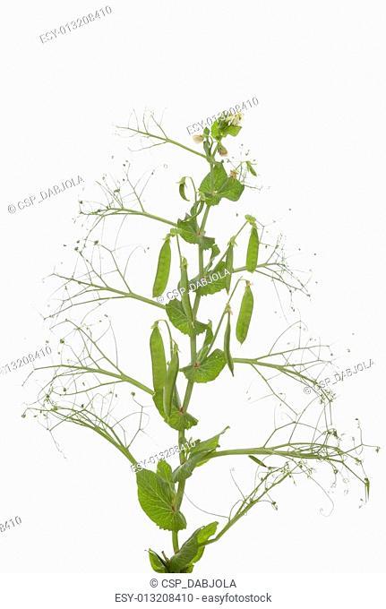 plant peas