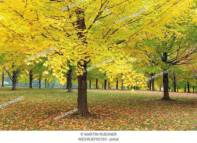 USA, Vermont, Maple trees in autumn