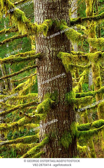 Douglas fir along Spruce Run Creek Trail, Clatsop State Forest, Oregon