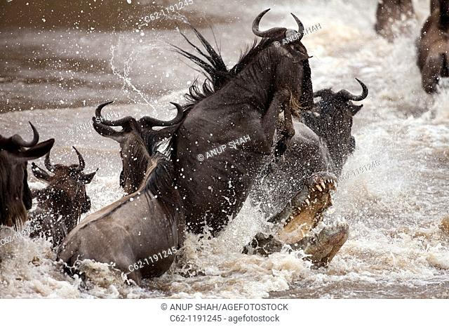 Nile crocodile (Crocodylus niloticus) attacking a group of wildebeest (Connochaetes taurinus) as they cross the Mara River, Maasai Mara National Reserve, Kenya