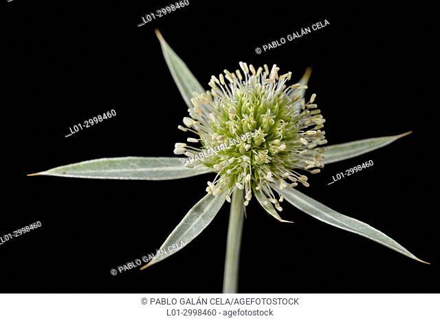 Eryngium campestre, thistle