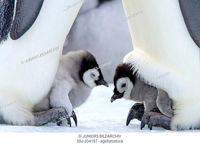 Emperor Penguin (Aptenodytes forsteri). Chicks on the feet of parent birds. Snow Hill Island, Antarctica