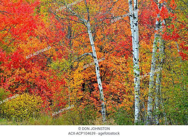 Autumn colour in the understory of an aspen woodland, Greater Sudbury, Ontario, Canada