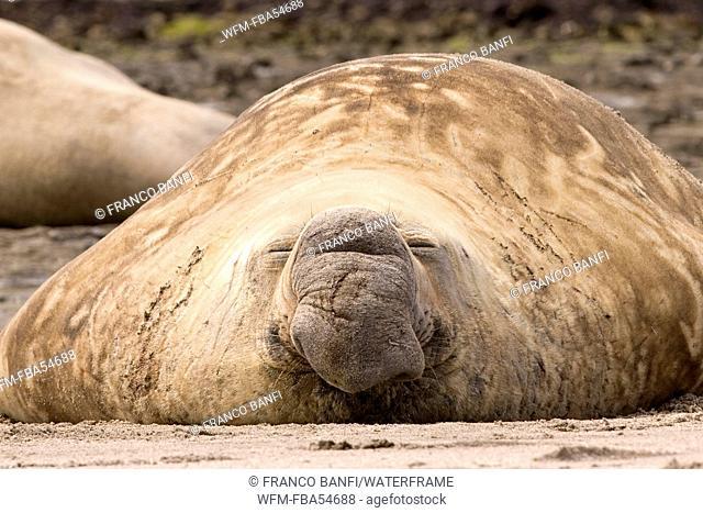 Male Southern Elephant Seal, Mirounga leonina, Valdes Peninsula, Patagonia, Argentina