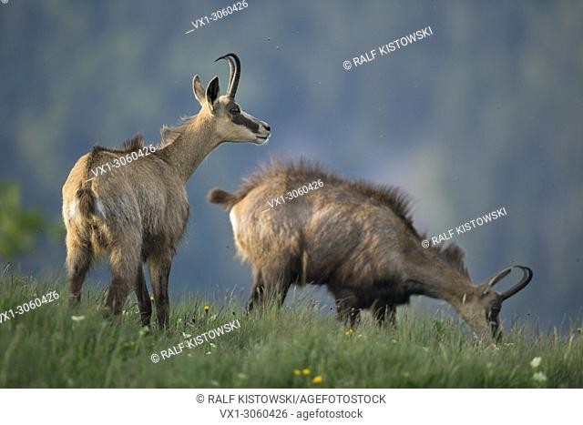 Chamois (Rupicapra rupicapra), two adults, standing in high grass of a flowering alpine meadow, one is watching, one is grazing, wildlife, France, Europe