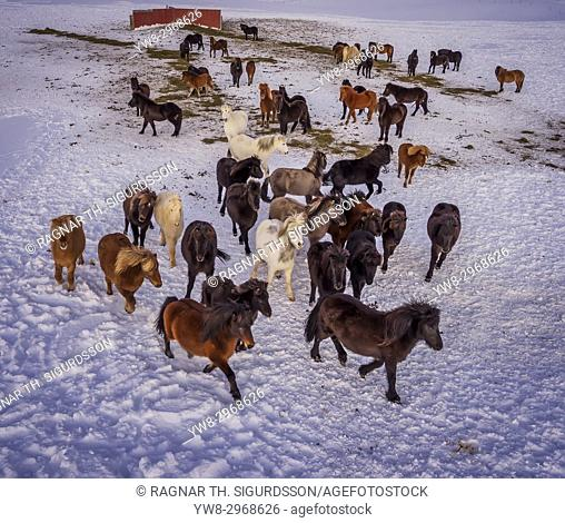Icelandic on a farm in the Horgardulur valley in Northern Iceland. This image is shot with a drone
