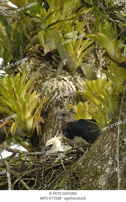 Harpy Eagle Harpia harpyja, mother with five month old chick on Kapok or Ceibo tree Ceiba trichistandra, nest, Aguarico River drainage, Amazon rainforest