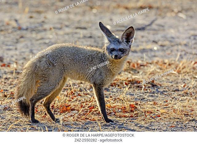Bat-eared fox (Otocyon megalotis). Ruaha National Park. Tanzania