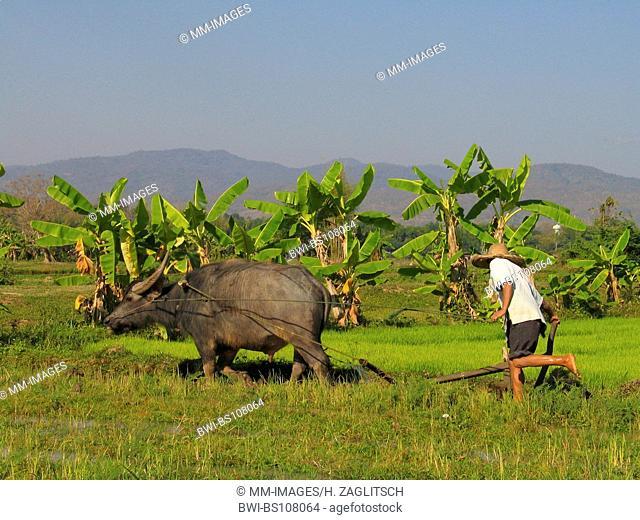 Asian water buffaloes, anoas (Bubalus spec.), farmer with buffalo ploughing a rice field, Thailand
