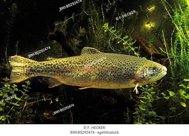 rainbow trout (Oncorhynchus mykiss, Salmo gairdneri), side view