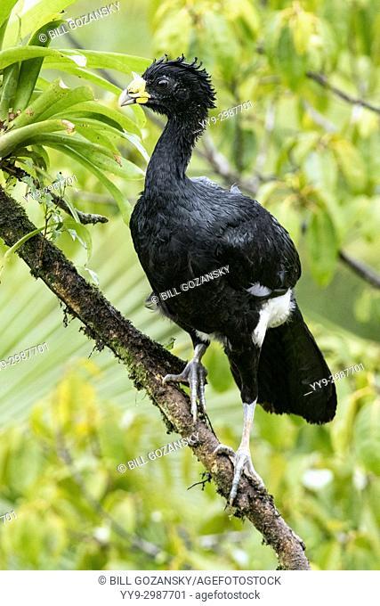 Great Curassow (Crax rubra) Male - La Laguna del Lagarto Lodge - Boca Tapada, San Carlos, Costa Rica