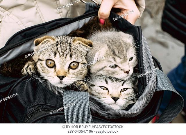 Three Small Cute Funny Scottish Cat Kitten Looks Out Of Carry Bag