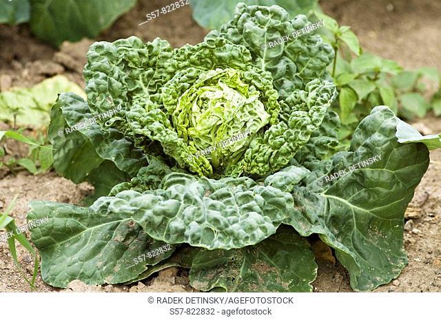 vegetable - savoy cabbage