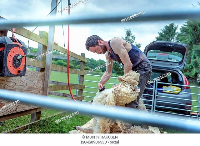 Sheep shearer shearing sheep in holding pen in field