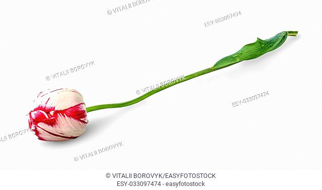 Dual colored red-white tulip isolated on white background