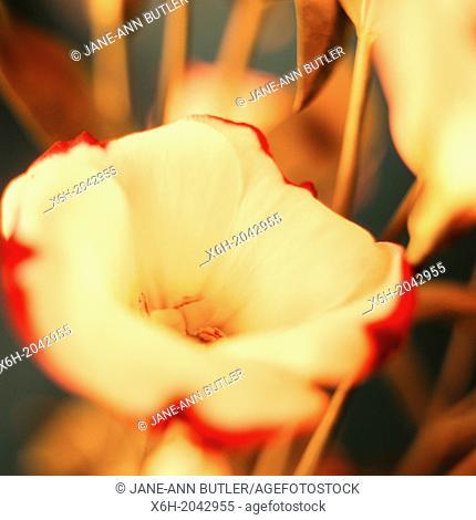 still life lisianthus - fine art photography