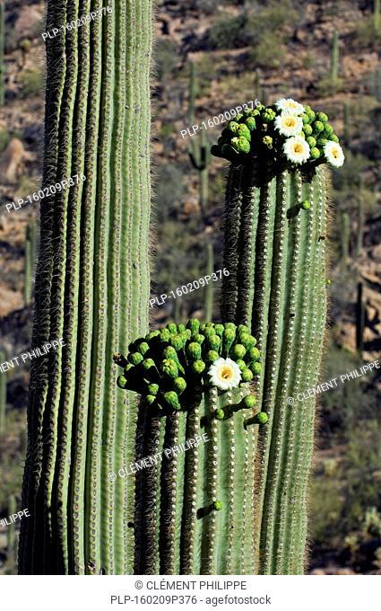 Saguaro cacti (Carnegiea gigantea / Cereus giganteus / Pilocereus giganteus) blooming, showing buds and white flowers, Sonoran desert, Arizona, USA