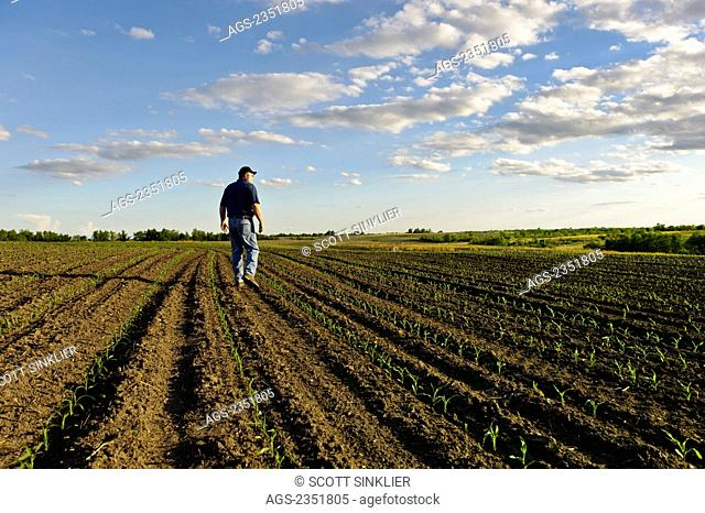 Agriculture - A farmer walks through his early growth grain corn field several weeks after planting, inspecting the young crop / Central Iowa, USA