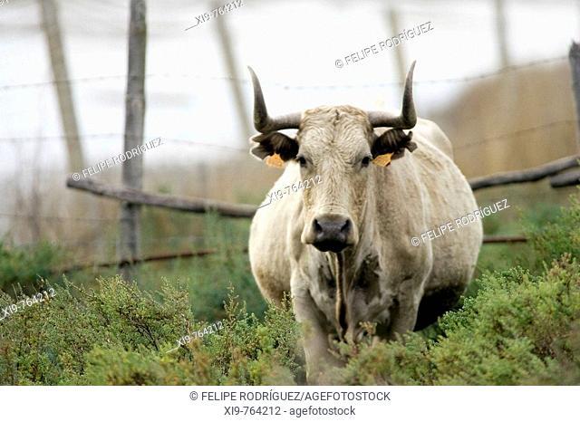 Cattle grazing in Doñana National Park. Aznalcazar, Sevilla province, Andalucia, Spain