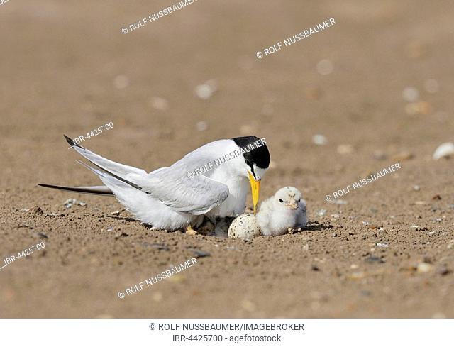 Least Terns (Sterna antillarum), adult warming newborn chicks, Port Isabel, Laguna Madre, South Padre Island, Texas, USA