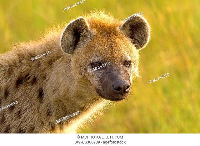 spotted hyena (Crocuta crocuta), portrait, Kenya, Masai Mara National Park