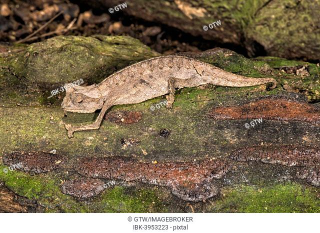 Brown leaf chameleon (Brookesia superciliaris), Madagascar