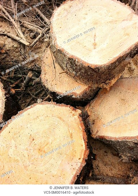 Cut wood rounds from a spruce tree