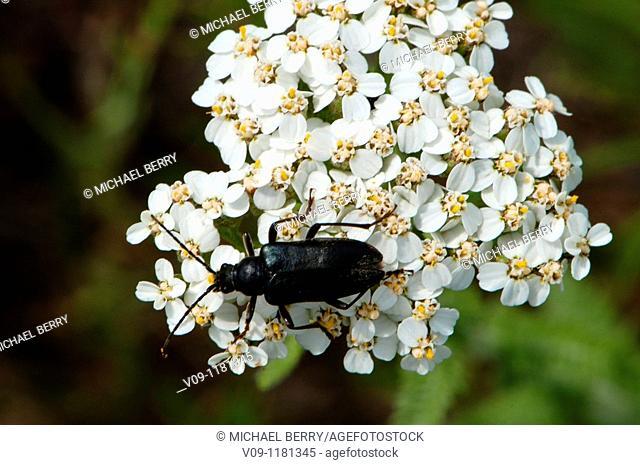 Longhorn beetle (Lepturopsis dolorosa) on flower, Columbia River Gorge, USA