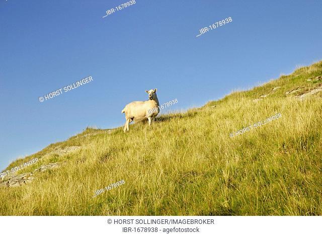 Curious sheep grazing on a steep pasture, Torr Head, County Antrim, Northern Ireland, United Kingdom, Europe