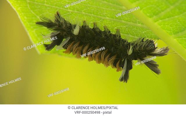 A Milkweed Tussock Moth (Euchaetes egle) caterpillar feeds on the underside of a Milkweed plant leaf