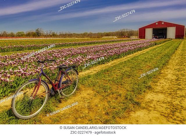 Tulips, Bicycle and Barn - Old Pointer bicycle surrounded by thousands of beautiful tulips and barn in the farm. Available in color as well as in a black and...