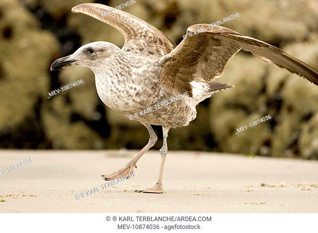 Cape Kelp Gull - Startled juvenile ready to take flight (Larus vetula). Atlantic Coast - Namibia - Africa