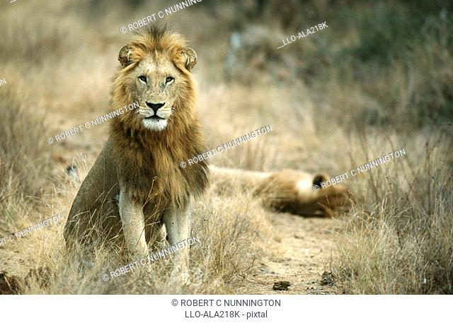 Lion Panthera leo Pair in the Bushveld  Thornybush Private Game Reserve, Mpumalanga Province, South Africa
