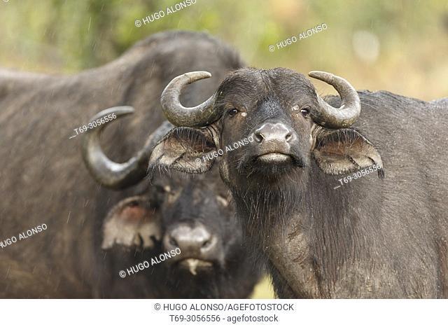African buffalo. Cape buffalo. Syncerus caffer. Kenia. Africa