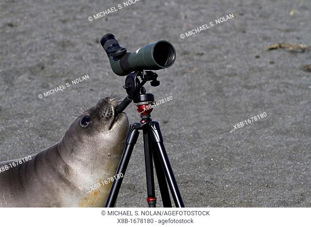 Curious southern elephant seal Mirounga leonina weaner pup inspects the spotting scope at Gold Harbour on South Georgia Island in the Southern Ocean