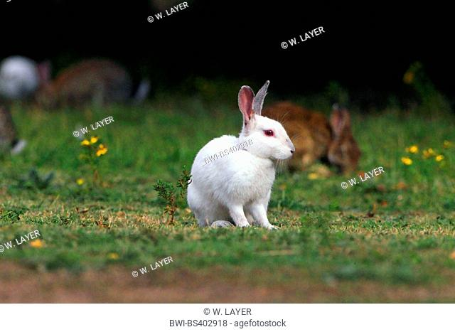 European rabbit (Oryctolagus cuniculus), albino, Germany