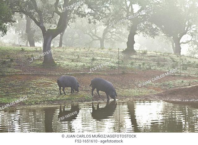 Iberian Pigs, Sierra de Aracena Natural Park, Huelva, Andalucia, Spain, Europe