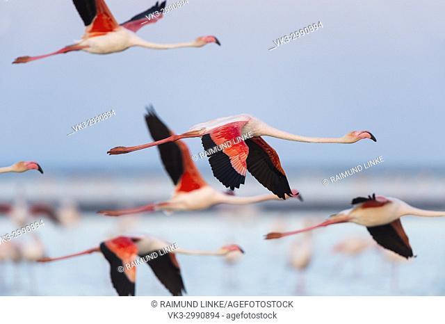 European Flamingo, Great Flamingo, Phoenicopterus roseus, in Flight, Dusk, Saintes-Maries-de-la-Mer, Parc naturel régional de Camargue, Languedoc Roussillon