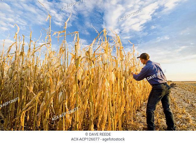 a man examines a harvest ready grain/feed corn field near Niverville, Manitoba, Canada