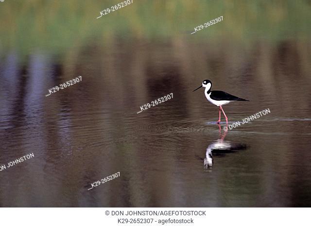 Black-necked stilt (Himantopus mexicanus), Myakka River State Park, Florida, USA