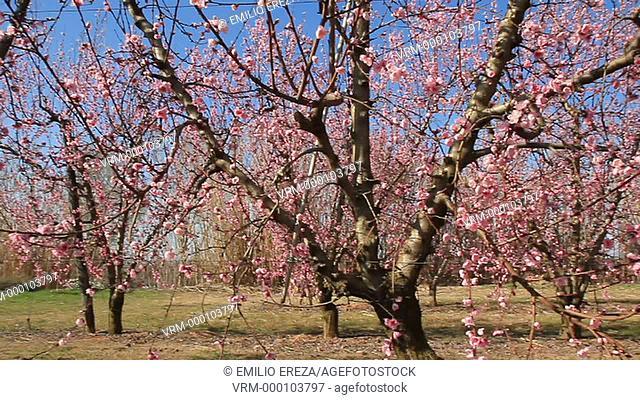 Nectarines trees flowering. Lleida, Catalonia, Spain
