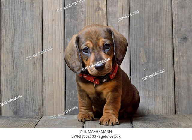 Short-haired Dachshund, Short-haired sausage dog, domestic dog (Canis lupus f. familiaris), sitting dachshund puppy, Germany
