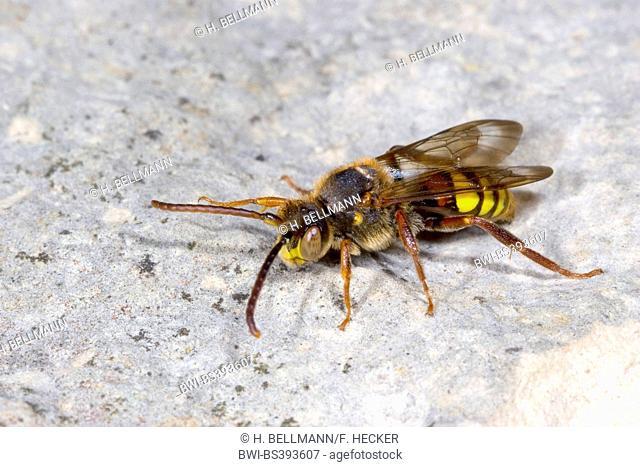 Yellow cuckoo bee (Nomada flava), male, Germany