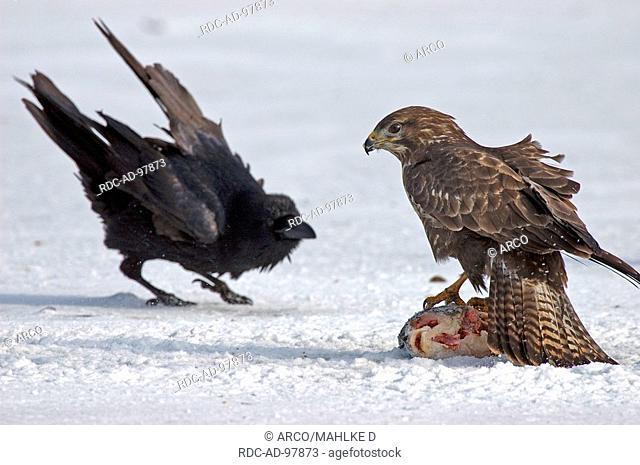 Common Buzzard defending Carp against Raven, Biosphere Preserve Schorfheide-Chorin, Uckermark, Brandenburg, Germany, Buteo buteo, Corvus corax
