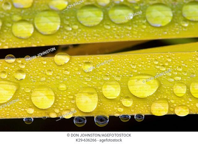 Yellowing garden iris leaves and raindrops in autumn