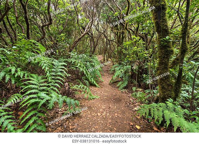 Tropical forest Forest landscape in Anaga, rural park, Tenerife, Canary islands, Spain